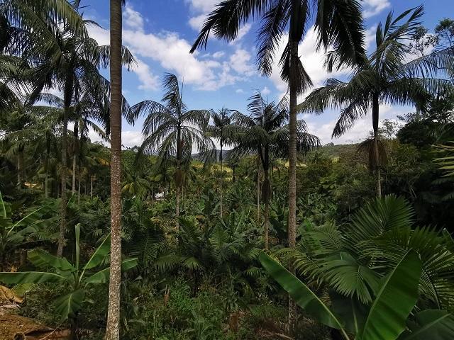 Produção de açaí catarinense: oportunidade de renda associada à conservação da palmeira juçara