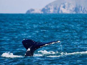 Read more about the article Anomalia positiva na temperatura de superfície do mar pode estar influenciando a presença de Baleias Jubarte no litoral de Santa Catarina